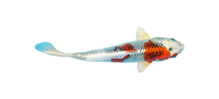 Japanese koi fish isolated on a white background