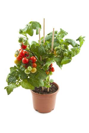 tomate cherry: La planta fresca de tomate cherry en un frasco aislado m�s de blanco Foto de archivo