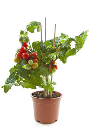 Tasty cherry tomato plant in jar isolated  over white