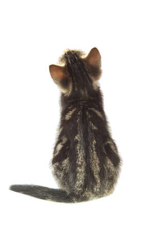 Little kitten closeup from the back isolated over white photo