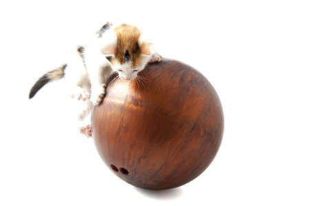 Kitten playing with a bowling ball isolated over white photo