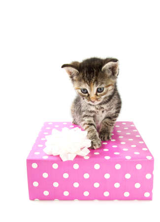 Cyperse kitten on a spotted giftbox isolated over white photo