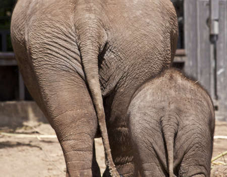 big ass: Adult elephant and young elephant from the back for background use