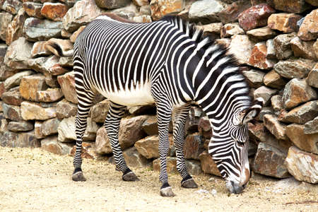 chapman: Eating zebra against a stone wall for background use