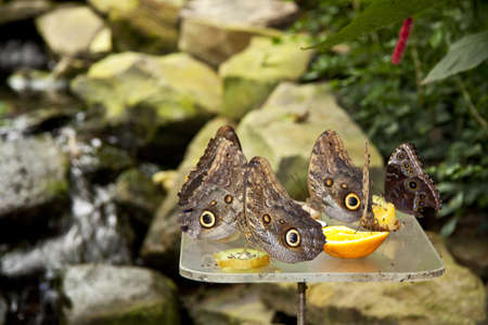 buckeye flower: Group butterflys eating fruit of a table for background use