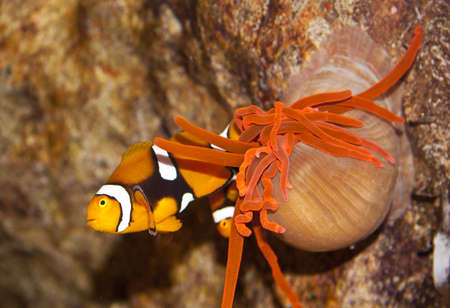 Clownfish close up with anemone tentacles for background use photo