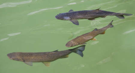 upstream: Fish in a french clear green river