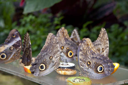 Group butterflys eating fruit of a table for background use photo
