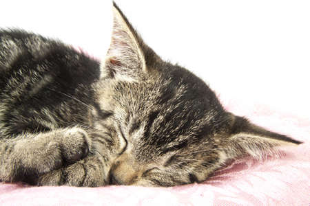 cat sleeping: Kitten sleeping on pillow closeup for background use Stock Photo