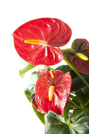 anthurium: Red anthurium close up for background use