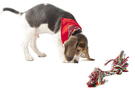 Beagle pup playing with colorful rope isolated over white photo