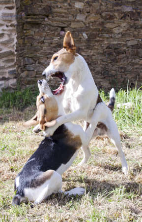 dominant color: Beagle playing fighting with jack russel in the garden