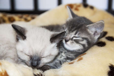 Two young kittens sleeping together on a fluffy blanket photo
