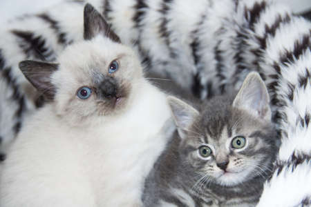 Two young fluffy kittens close-up for background use photo