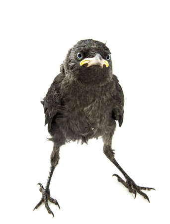 blackbird: Young crow watching with bue eyes isolated over white Stock Photo
