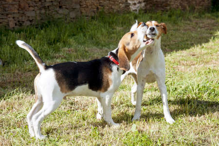 dominant color: Playing young beagle with playing jack-russel in the garden