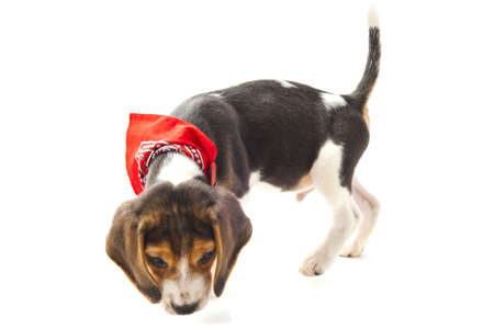 Adorable beagle pup isolated on w ahite background photo