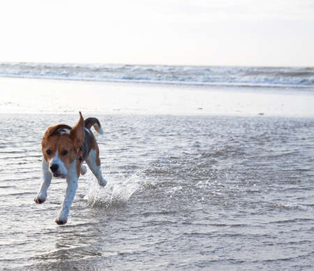 Young beagle running in the water on the beach Stock Photo - 25108698