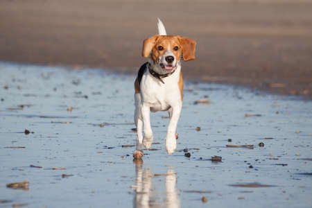 Young beagle running in the water on the beach Stock Photo - 25108783
