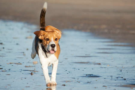 Young beagle running on the beach for background use photo