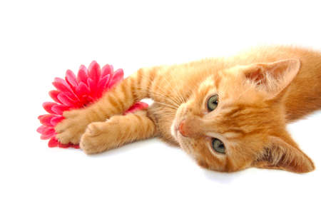 Playful red kitten with red flower isolated over white photo