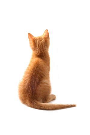 Red kitten sitting and waiting isolated over white photo
