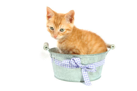 Red kitten in vintage bucket isolated over white photo
