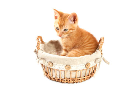 Red kitten in vintage basket isolated over white photo