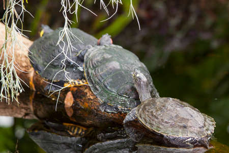 land shell: Water turtles in a row close up on a tree trunk  in a pound Stock Photo