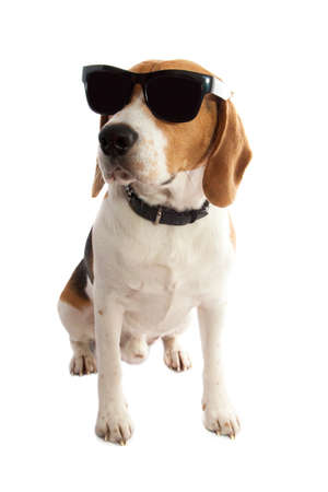 Young beagle with sunglasses isolated over white