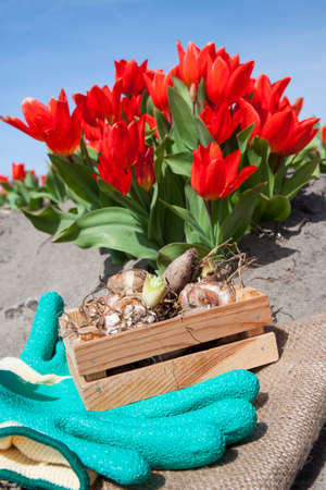 Flower bulbs in crate with red tulips Stock Photo