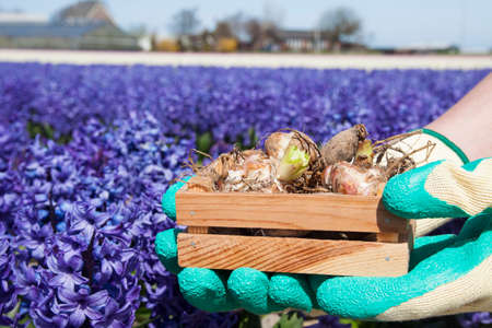 miscarry: Two hands holding a crate with flower bulbs Stock Photo