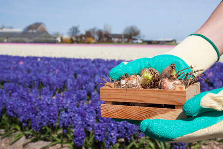 Two hands holding a crate with flower bulbs Stock Photo