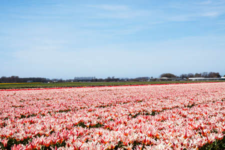 Red white tulip field for background use