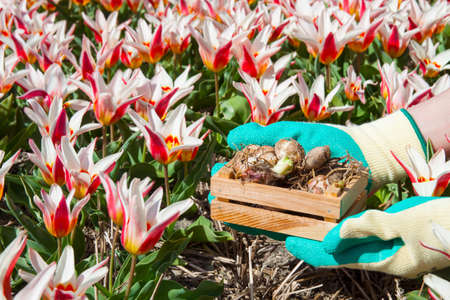 Red white tulip field with bulbs in wooden box on human hands