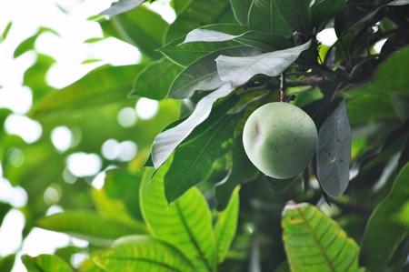 leafs: mango tree Stock Photo