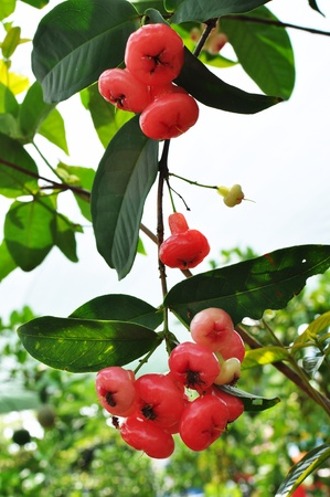 Red rose apple tree photo