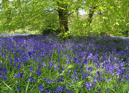 Magical bluebell woods in Dorset England. Stock Photo