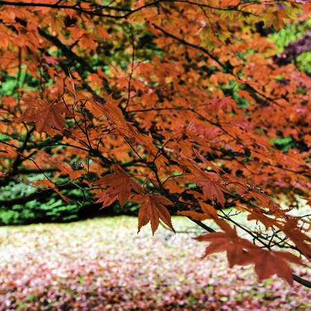 Red Japanese Maple or Acer in the Autumn or Fall. photo