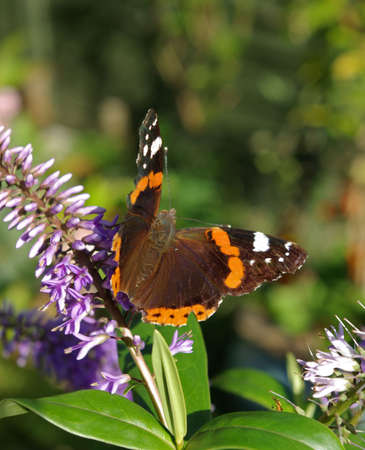 to flit: A Butterfly open and sitting on a lilac flower.