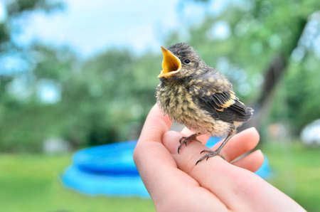 baby chick: Small baby bird chaffinch on a palm Stock Photo