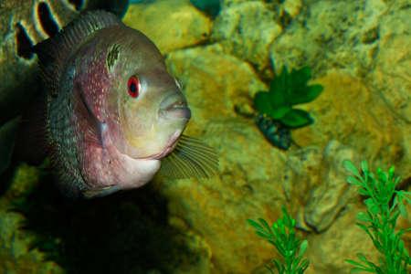 Fisch Kopf geschossen enger im Aquarium