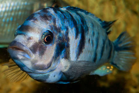 Fish head shot close in the aquarium