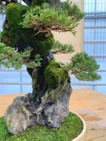 Bonsai tree composition on stone. Chinese juniper in a flat vase