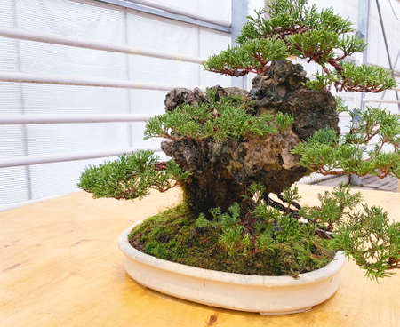 Old bonsai tree composition. Chinese juniper.
