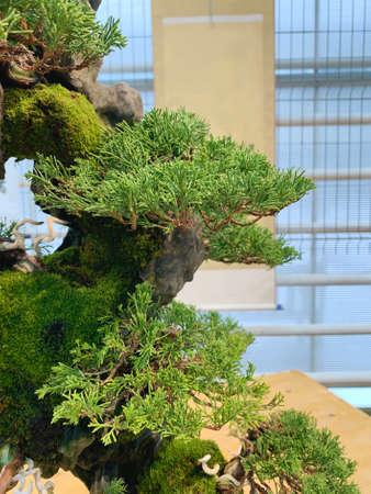 Bonsai tree composition on stone. Chinese juniper. Zdjęcie Seryjne