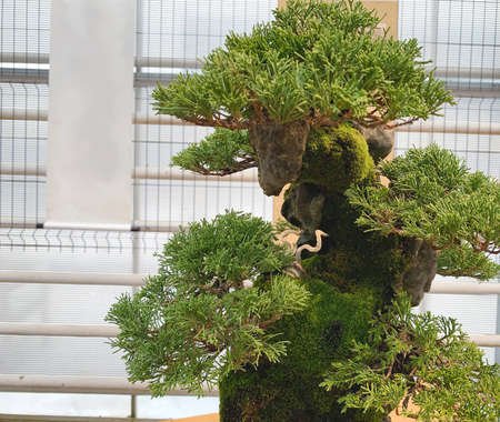 Bonsai tree composition. Chinese juniper.