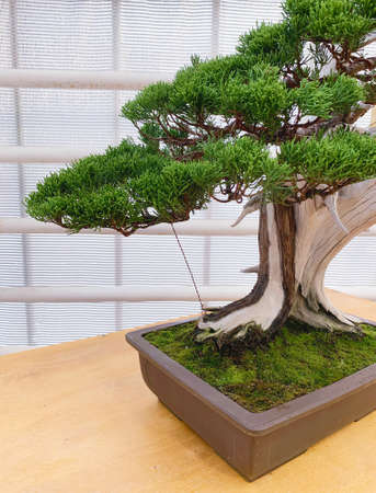 Bonsai tree composition. Chinese juniper in a flat vase.