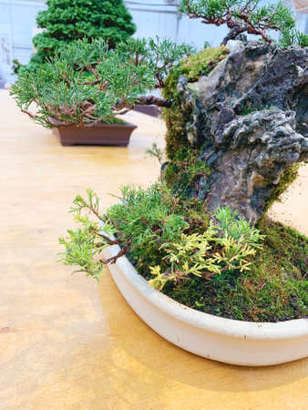 Old bonsai tree composition.