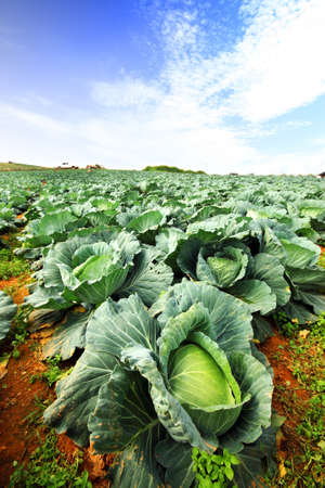 The green cabbage field and the blue sky.